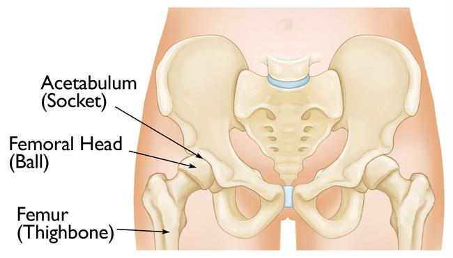 acetabulum